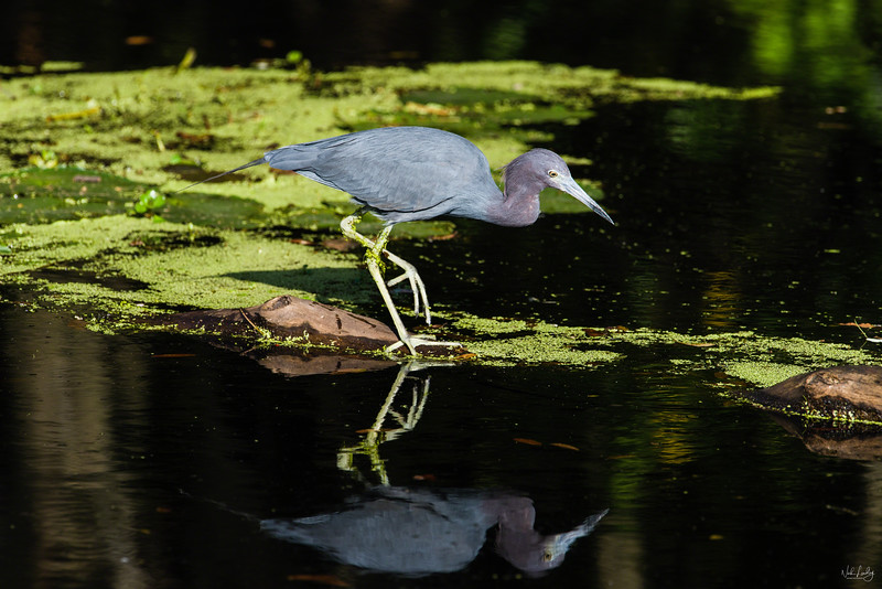 little blue heron_2907_150304