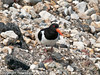22 July 2010 - Oystercatcher adult. Copyright Peter Drury 2010