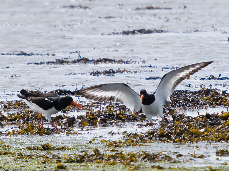 Oystercatcher. Copyright 2009 Peter Drury<br /> Defending it's territory on the shores of Langstone Harbour