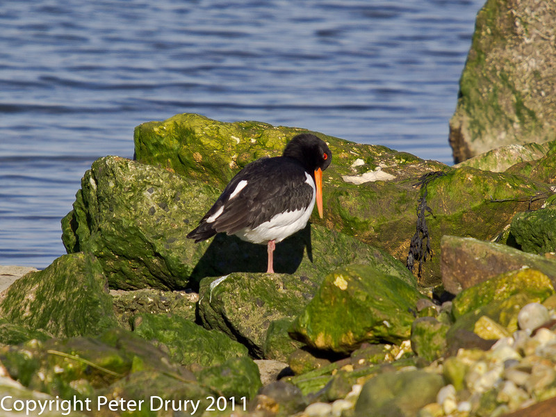 28 January 2011. Oystercatcher on the lagoon islands at the Oysterbeds.  Copyright Peter Drury 2011