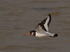 Oystercatcher. Copyright 2009 Peter Drury<br /> Flying along the coastline<br /> Langstone Harbour