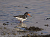 Oystercatcher with crab at Broadmarsh. Copyright Peter Drury 2010