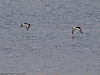 04 July 2011. Oystercatchers flying over the lagoon at the Oysterbeds. Copyright Peter Drury 2011