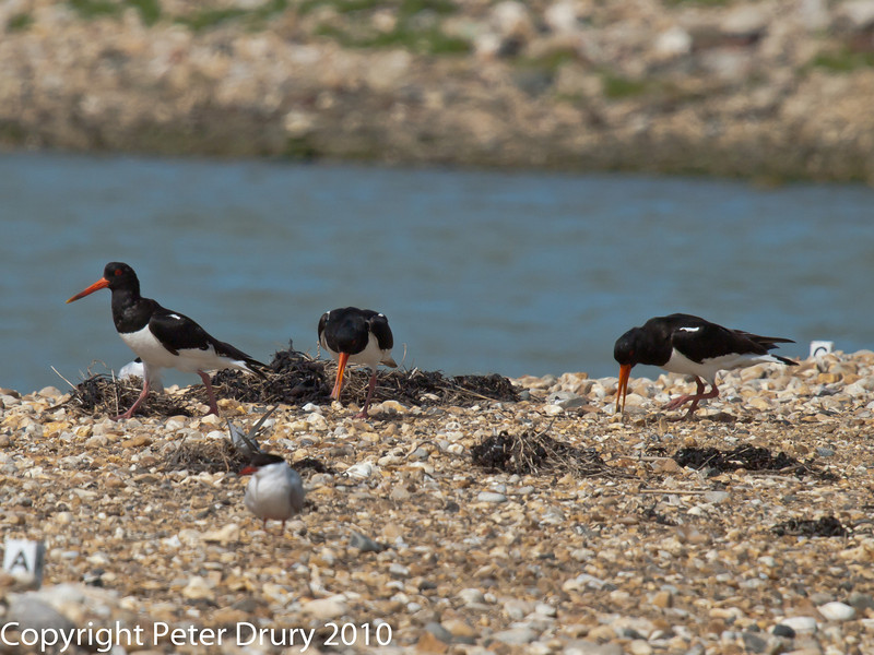 22 July 2010 - Oystercatchers scavanging for food on the top of South Island.. Copyright Peter Drury 2010<br /> This party of 3 adult Oystercatchers flew in to get an easy feed. This did not happen before when the islands were more fully occupied.