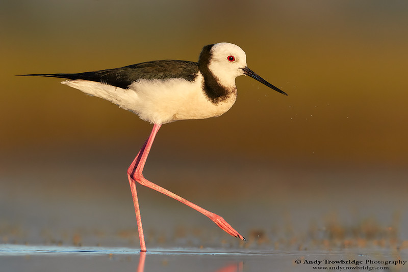 Pied Stilt / Black-winged Stilt (Himantopus himantopus)