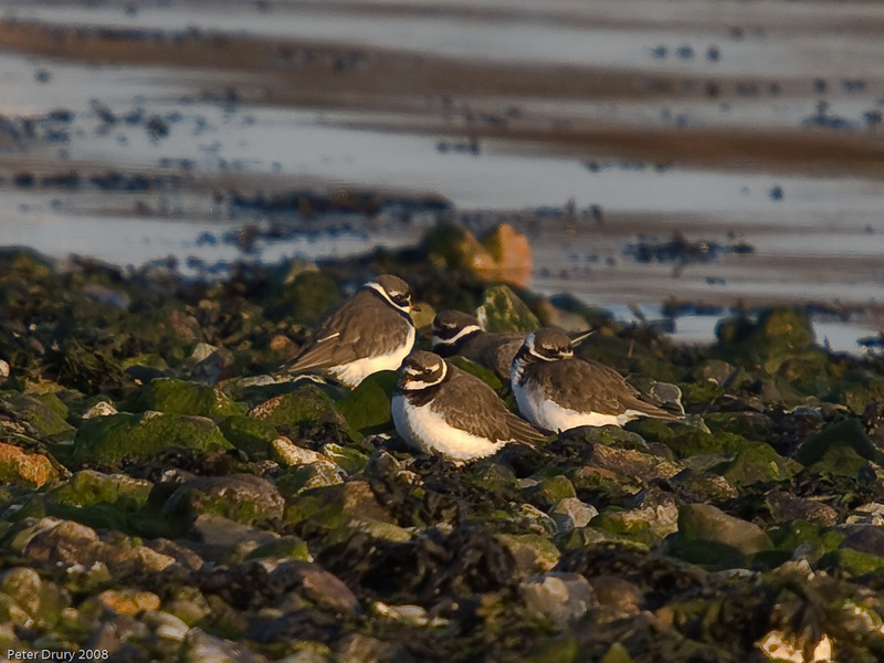 Ringed Plover (Charadrius dubius). Copyright 2009 Peter Drury<br /> A group roosting on the pebbles at high tide.<br /> Langstone Harbour.