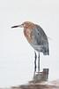reddish egret_8397_151218