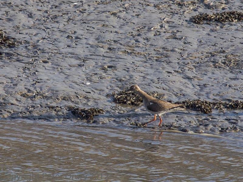 01 February 2012 Redshank in the Hermitage stream estuary.