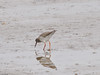 Redshank (Tringa totanus). Copyright 2009 Peter Drury
