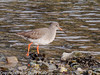 28 Nov 2010 - Redshank at Broadmarsh. Copyright Peter Drury 2010. Part of E5 Tests<br /> E5 + Sigma 50-500, ISO 400, f7.1, Aperture Priority