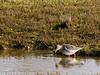 03 February 2011. Redshank on the salt marsh.  Copyright Peter Drury 2011