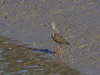 15 Feb 2012 Redshank at Broadmarsh