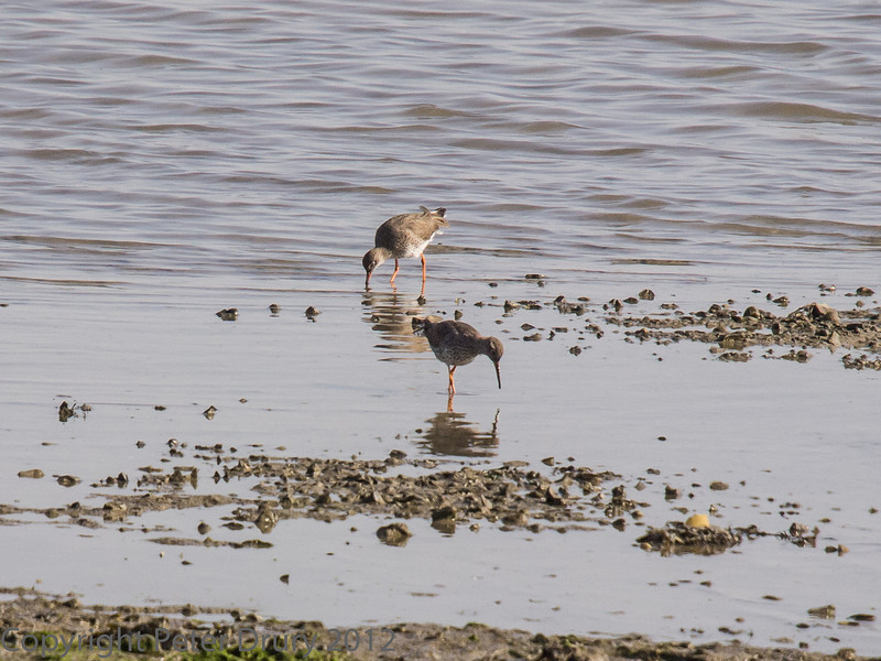 A pair feeding in the mud surrounding the channel.