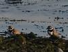 Ringed Plover (Charadrius dubius). Copyright 2009 Peter Drury<br /> Langstone Harbour