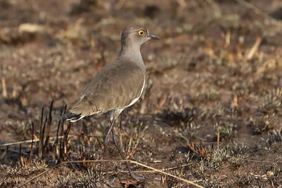 Senegal Lapwing