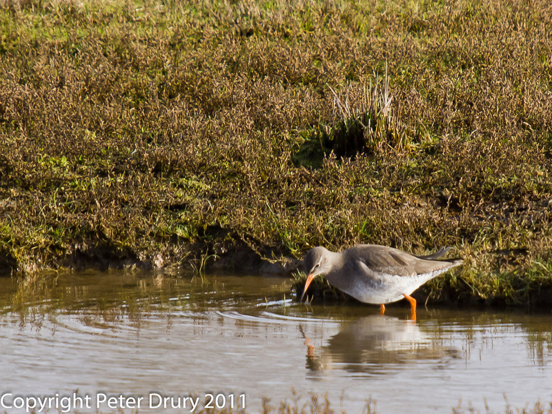 03 February 2011. Redshank on the salt marsh.  Copyright Peter Drury 2011