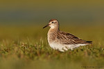 Sharp-tailed Sandpiper (Calidris acuminata)