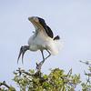 wood stork_5930_150401