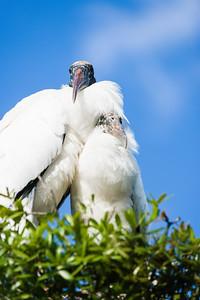 wood stork_1270_150401