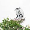 wood stork_2185