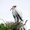 wood stork_2169