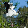 wood stork_2105_150401