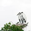 wood stork_2184