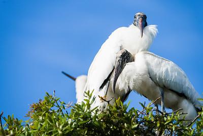 wood stork_1261_150401