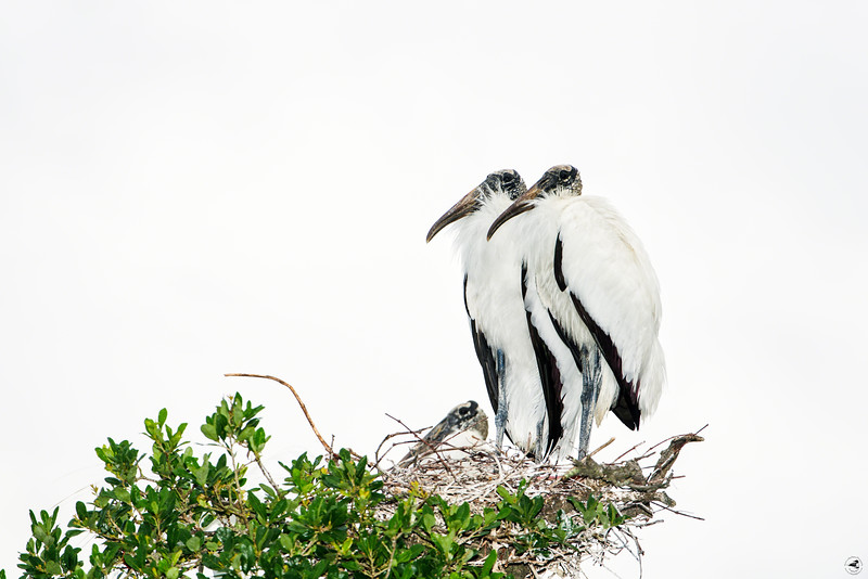 wood stork_2187