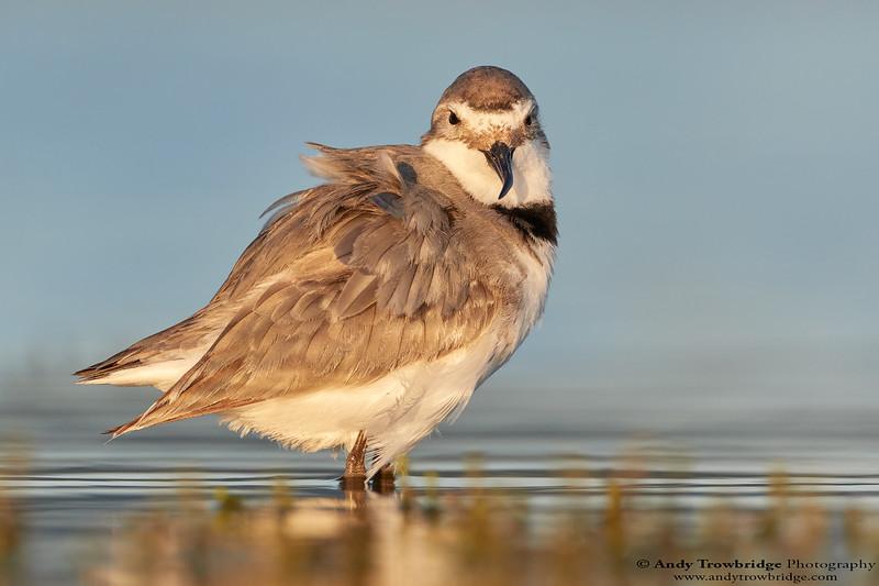 Wrybill (Anarhynchus frontalis)
