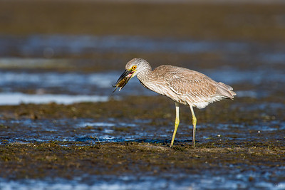 yellow-crowned night heron_8027