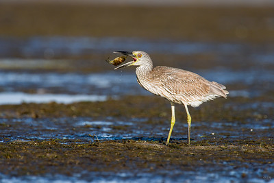 yellow-crowned night heron_8026