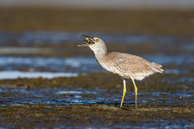 yellow-crowned night heron_8060
