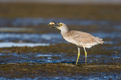 yellow-crowned night heron_8051