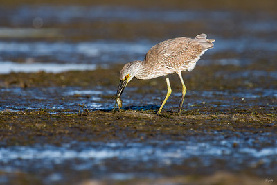 yellow-crowned night heron_7976