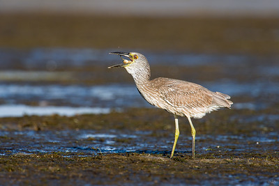 yellow-crowned night heron_8063