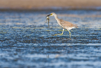 yellow-crowned night heron_7901