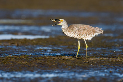 yellow-crowned night heron_8010