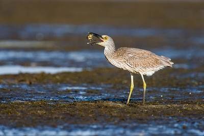yellow-crowned night heron_8017