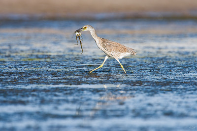 yellow-crowned night heron_7899