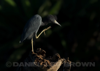 LITTLE BLUE HERON, adult
