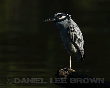 YELLOW-CROWNED NIGHT-HERON, adult