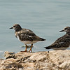 Ruddy turnstone ארנריה אדמונית