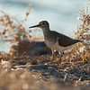 Common sandpiper ביצנית לבנת בטן