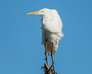 GREAT EGRET, AT YOLO BYPASS WILDLIFE AREA, YOLO CO, CA.