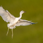 Little Blue Heron (Immature)