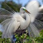 "Great Egret ""Breeding Plumage"""