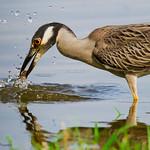 Yellow-crowned Night Heron - River Barge Park, Meadowlands, NJ