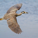 Yellow-crowned Night Heron - River Barge Park, Meadowlands, NJ