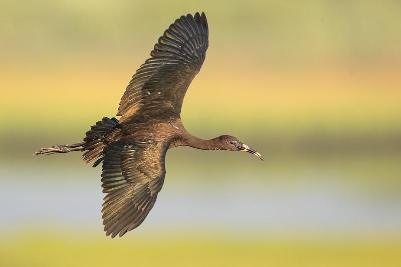 Glossy Ibis (immature)